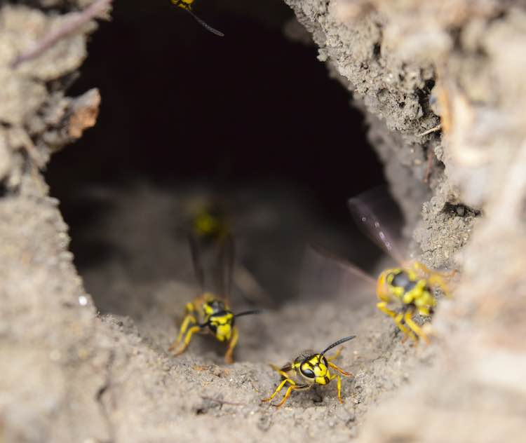 Yellow jackets entering and exiting their nest.